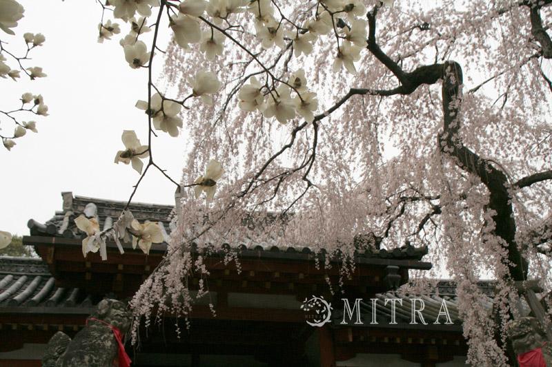 奈良の一番桜・・・枝垂れ桜